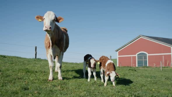 Thumbnail for Cow and Two Calves in Surrounded By Green Grass in the Barn