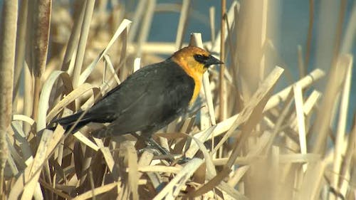 Yellow-headed Blackbird Male Adult Lone in Spring in Wyoming