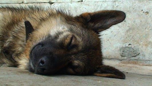 Thumbnail for Dog Sleeping Outdoors CU