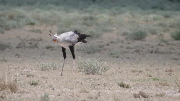 Thumbnail for Secretary bird hunting at the savanna