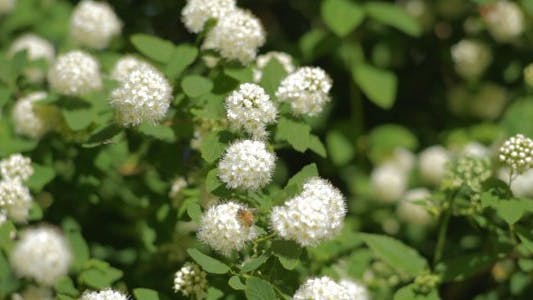 Thumbnail for Bees on White Buds