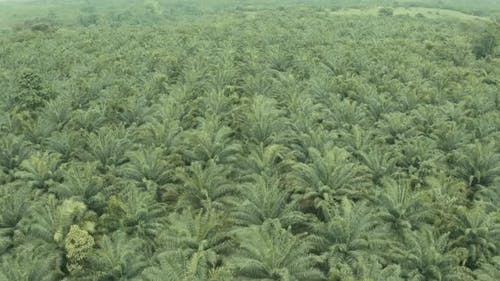 Aerial view of a palm oil plantation showing many, still young, oil palm trees