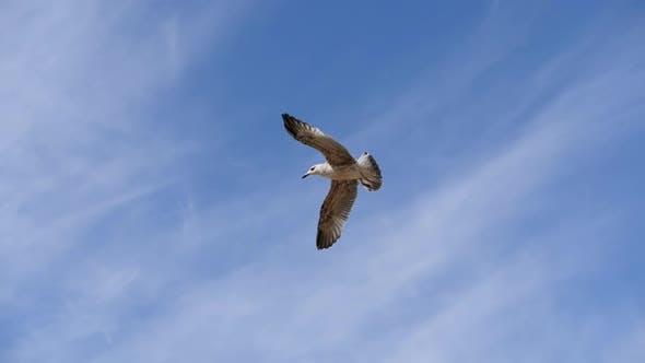 Mouette en vol contre le ciel bleu