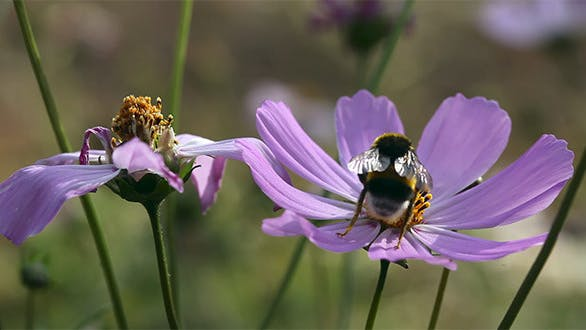 Thumbnail for Bumblebee At Work