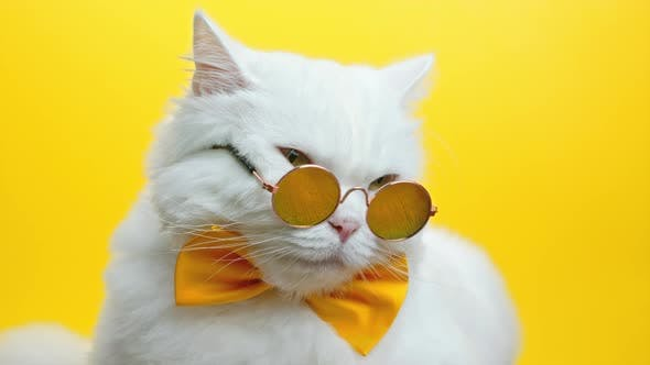 Portrait of White Furry Cat in Fashion Sunglasses and Bowtie