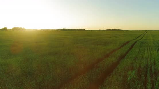Low Altitude Flight Above Rural Summer Field with Endless Yellow Landscape at Summer Sunny Evening