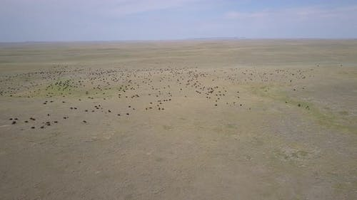 Aerial Drone of Buffalo aka Plains Bison Herd in Northern Great Plains in Summer