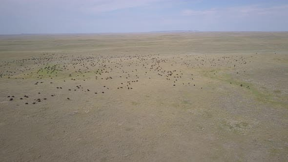 Thumbnail for Aerial Drone of Buffalo aka Plains Bison Herd in Northern Great Plains in Summer