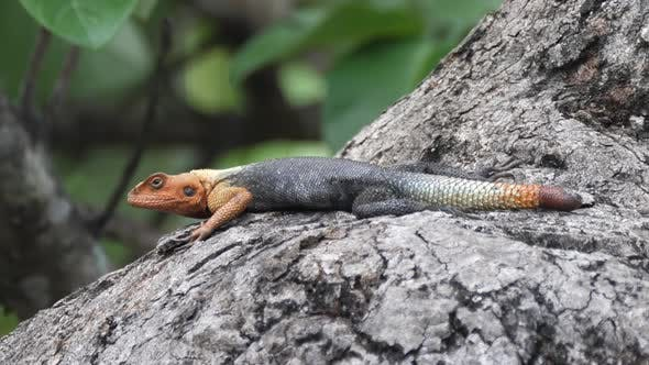 Thumbnail for African Redhead Agama