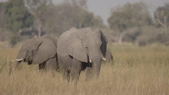 Elephants Feed on Yellow Grass