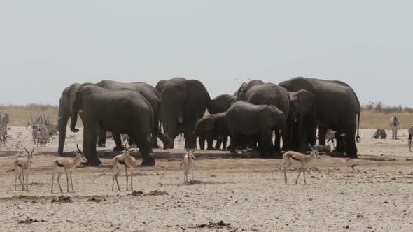 Crowded waterhole with Elephants, zebras, springbok and orix. Etosha