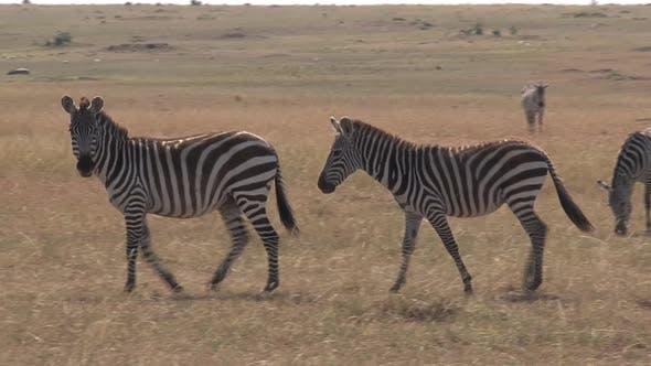 Thumbnail for Herd of Zebras Walking on The Savanna