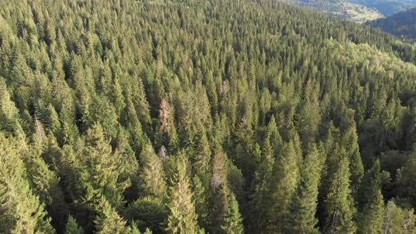Thumbnail for Drone flying over fresh green forest and hills. Drone view of Carpathian mountains