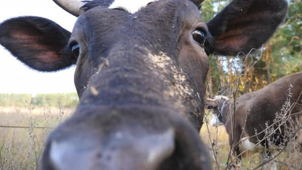 Portrait of Curious Black Cow Looking Into Camera and Sniffing It. Cute Friendly Animal Grazing in