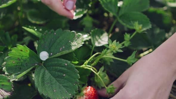 Strawberry Bush with Ripe Berries
