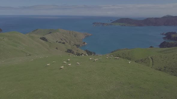 Thumbnail for New Zealand sheep herd aerial