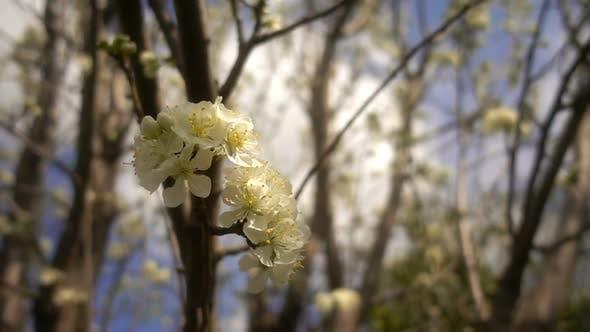 Thumbnail for Plum Tree 6
