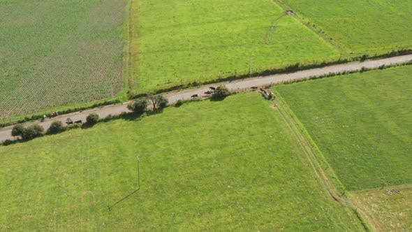 Thumbnail for Aerial view of cows that are being herded onto the streets by a woman and her childeren