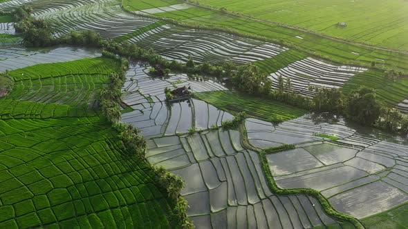 Aerial View At Rice Terraces Full Of Water In Deep Jungle, Bali, Indonesia. Grass Is Green And Juicy