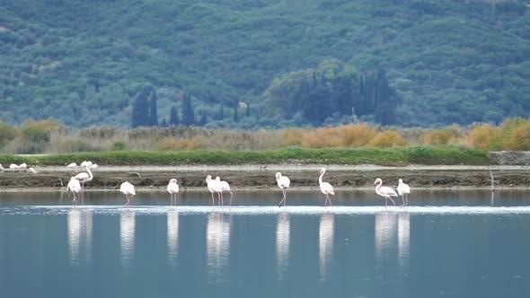 Thumbnail for Flamingos walking away in a lake