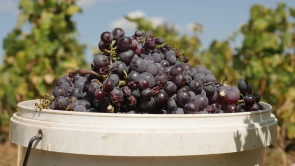 Thumbnail for Zooming-in gemeinsame Traube Reben 4K 2160p 30fps UltraHD Filmmaterial - geerntet Vitis vinifera Frucht clo
