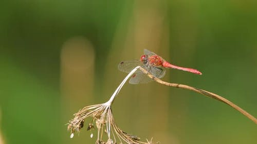 Scarlet Dragonfly Crocothemis Erythraea is a Species of Dragonfly in the Family Libellulidae