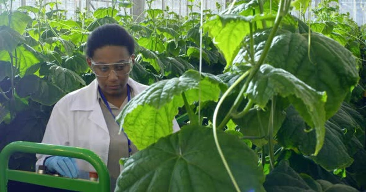 African Agronomist Working in Greenhouse