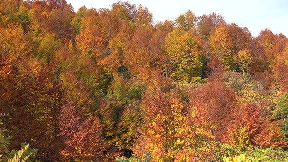 Thumbnail for Fading Tree Leaves In The Forest With Approaching Autumn Season