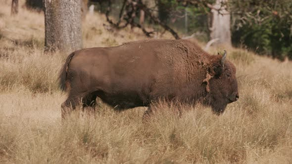 Thumbnail for American Bison walking at wildlife park