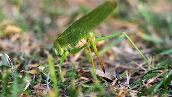 Thumbnail for Big Green Locust Female Lays Eggs