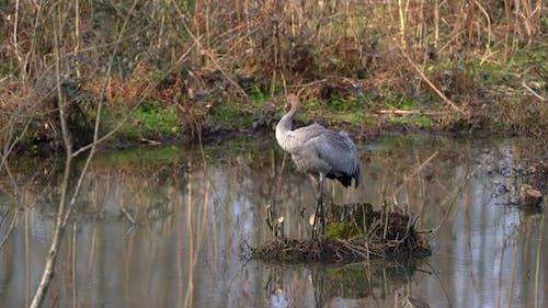 A Gray Crane Bird Alone in Wetland in Autumn and Winter Season