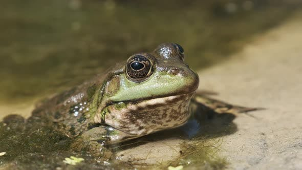 Green Frog Sits on the River Shore on Sand in Water. Portrait of Toad in Marsh