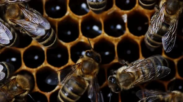 Macro Footage of Bees Family Working on Honeycomb in Apiary. Life of Apis Mellifera in Hive. Concept