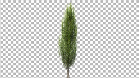 Thumbnail for Tree Poplar