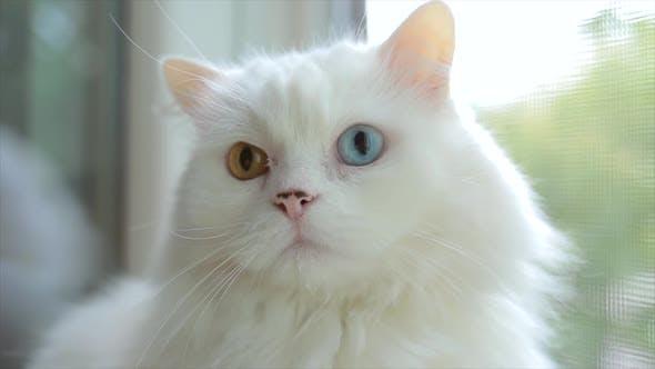Domestic Cat with Complete Heterochromia