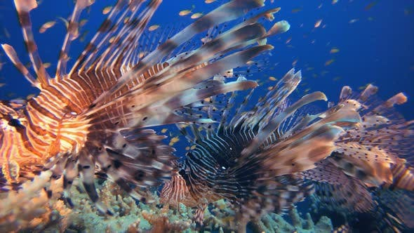 Thumbnail for Lionfish Tropical Underwater