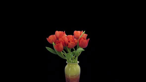 Thumbnail for Time-lapse of opening red Escape tulip bouquet