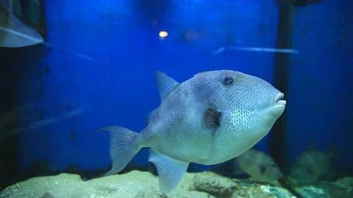 Trigger fish in aquarium