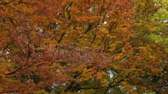 Japanese zelkova known as Japanese elm