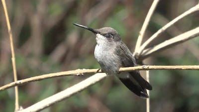 Hummingbird Female Lone Perched in Spring Hummingbird in Arizona