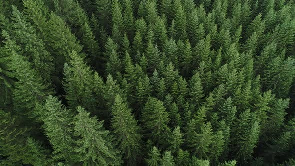 Thumbnail for Coniferous Forest the Aerial View