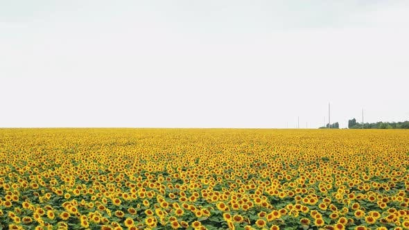 Thumbnail for Organic Sunflowers are Growing on the Big Plantation in Summer Evening