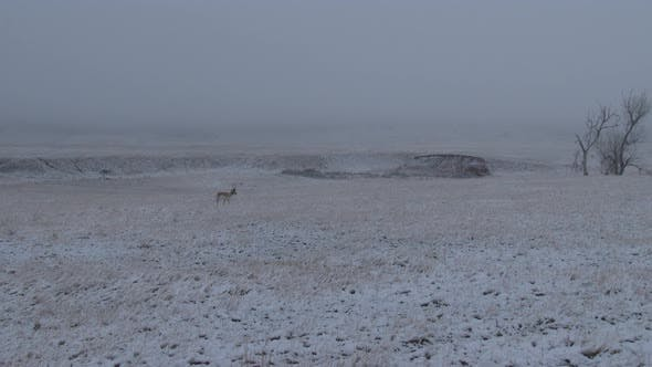 Thumbnail for Pronghorn Antelope Buck Male Adult Lone Walking Moving in Winter Snow Prairie Fog