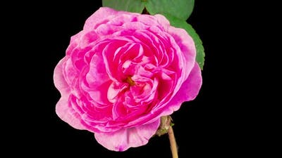 Time Lapse of Opening Pink Rose Flower