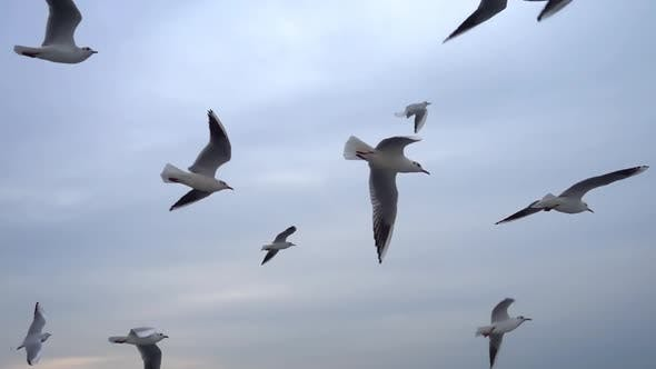 Thumbnail for Seagulls Flying In The Gray Clean Sky. Close Up Flock Of Birds Flies Slow Motion. 5