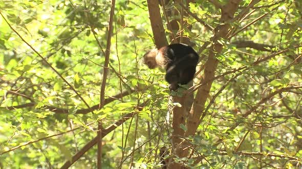 Thumbnail for White-faced Capuchin Adult Lone Sitting Looking Around in Costa Rica