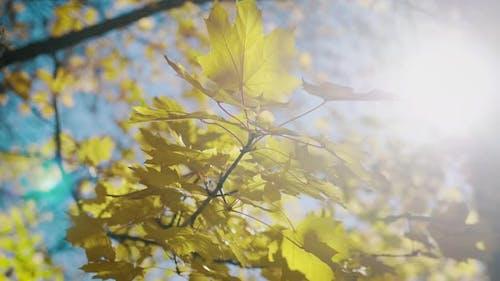 Warm Sun Rays Illuminate the Gold Maple Leaves. Beautiful Autumn Landscape with Yellow Trees and Sun