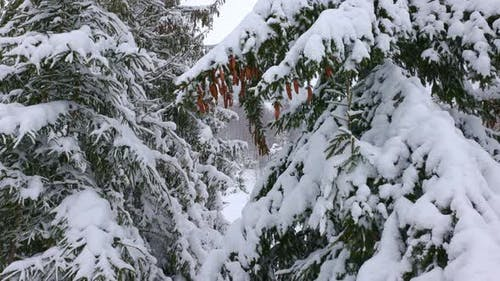 Closeup of Spruce Branches with Small Cones Against the Background of the Mountain Forests of the