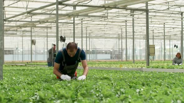 Thumbnail for Agronomist Inspecting the Growth of Organic Green Salad