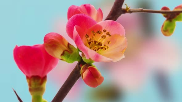 Thumbnail for Apple Blossom Timelapse on Blue